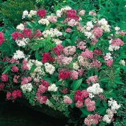 Shirobana Spirea (1m high & wide) Dense mounding shrub with pink, white and crimson flower clusters all on the same plant! Grows well in full sun or light shade. Canadale Nurseries Ltd.