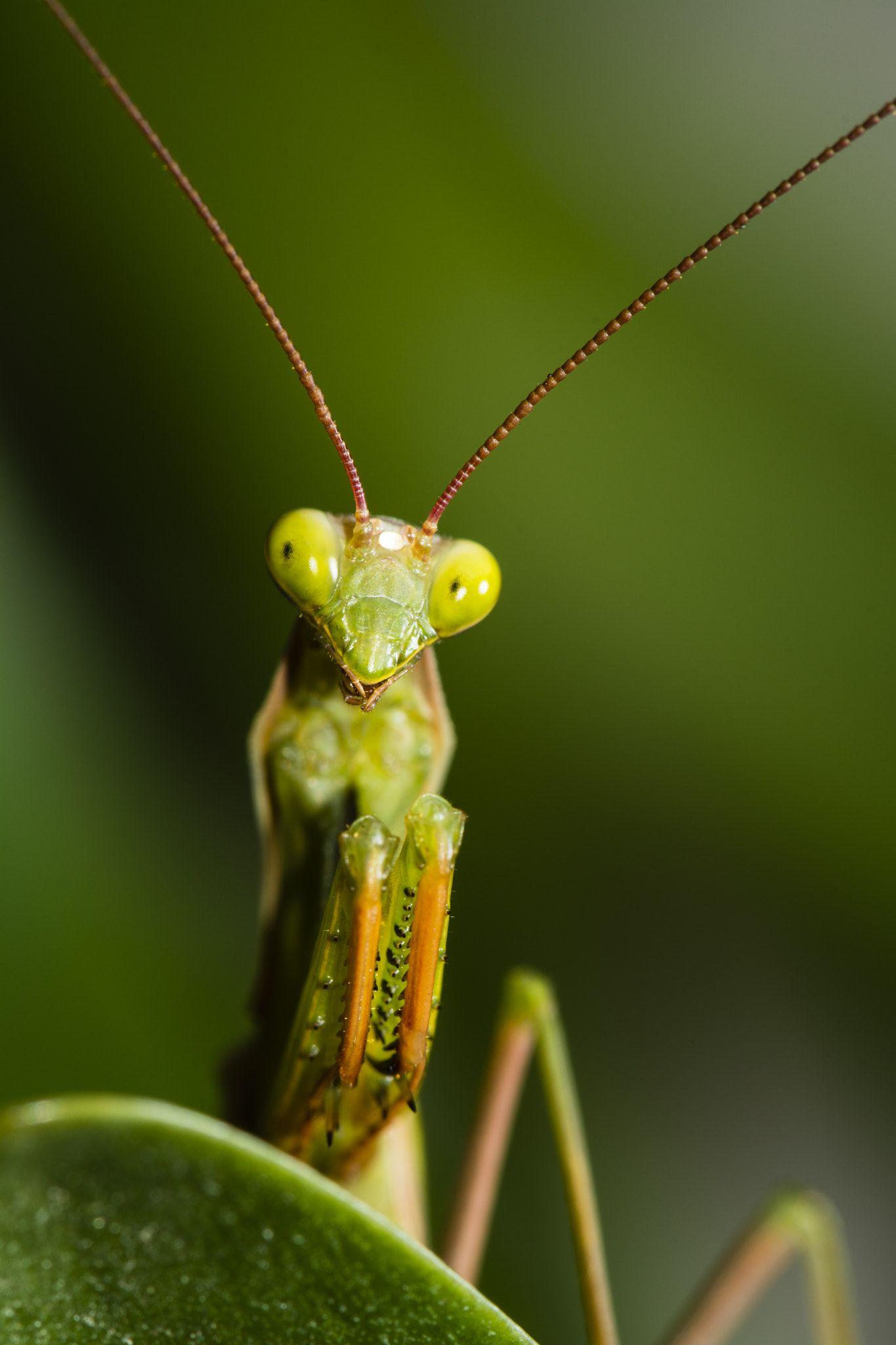 Mantis religiosa - null | Mother Nature | Pinterest