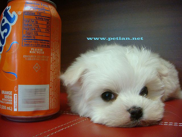 Cute Teacup Maltese Puppies Maltese Dogs Cute Cats And Dogs