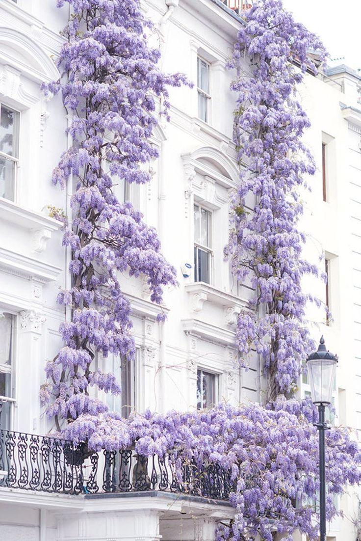 London photography wisteria in notting hill spring in