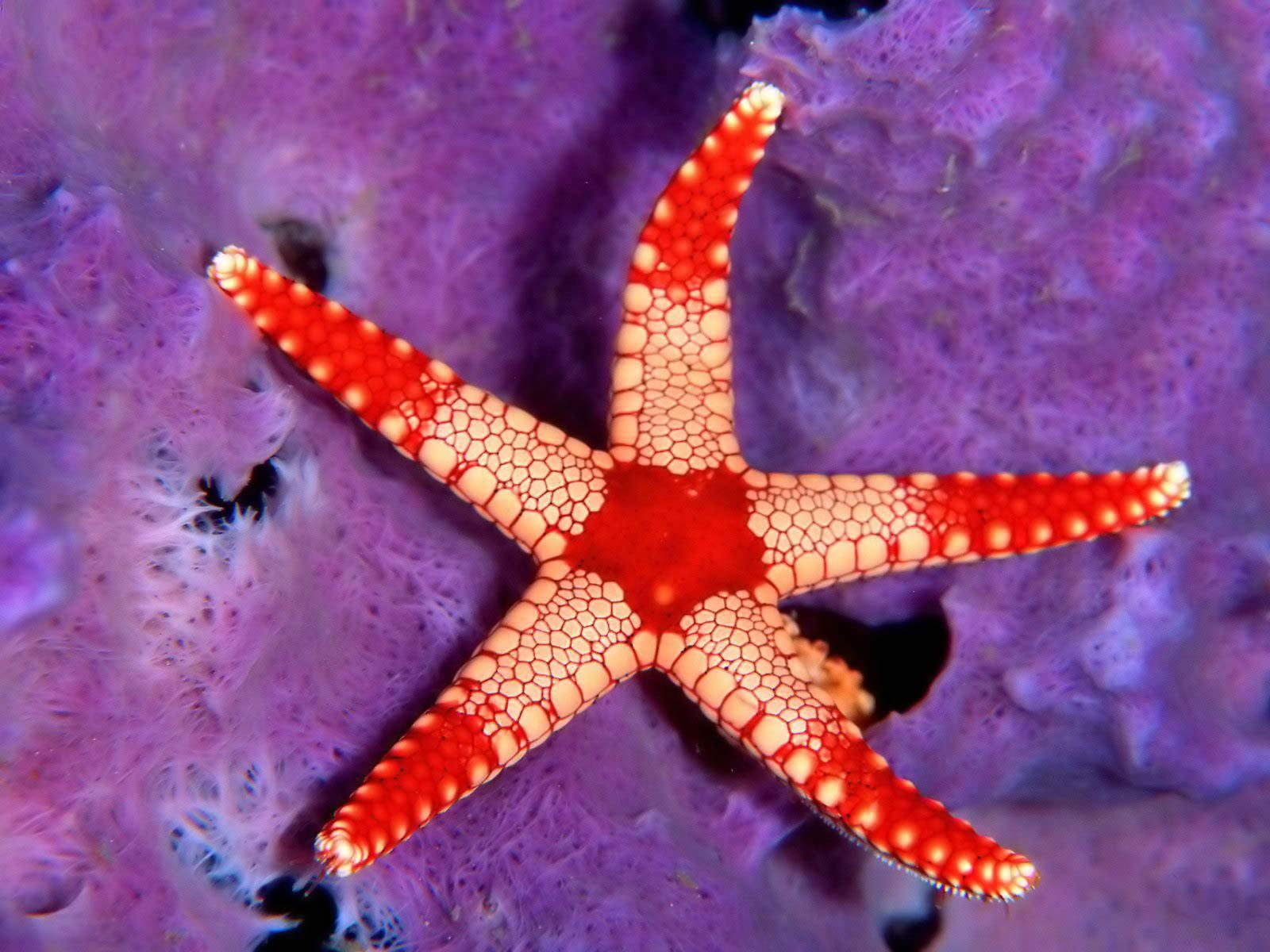Advantages of asexual reproduction in starfish necklace