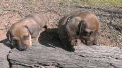Mini Dachshund Puppies For Sale Coolah New South Wales
