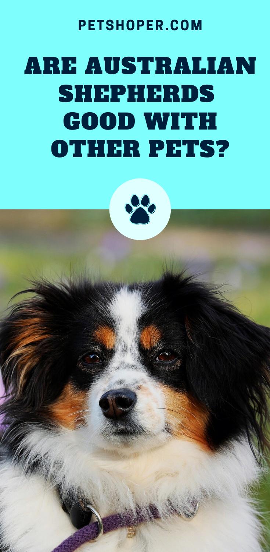 Do The Australian Shepherd Get Along With Cats Answered Petshoper In 2020 Australian Shepherd Dog Names Girl Dog Names