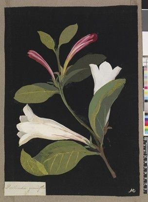 Portlandia Grandiflora, from an album (Vol.VII, 91). 1782 Collage of coloured papers, with bodycolour and watercolour, on black ink backgrou...