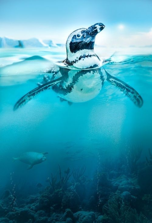 A penguin swimming up for a peek at the icy wilderness