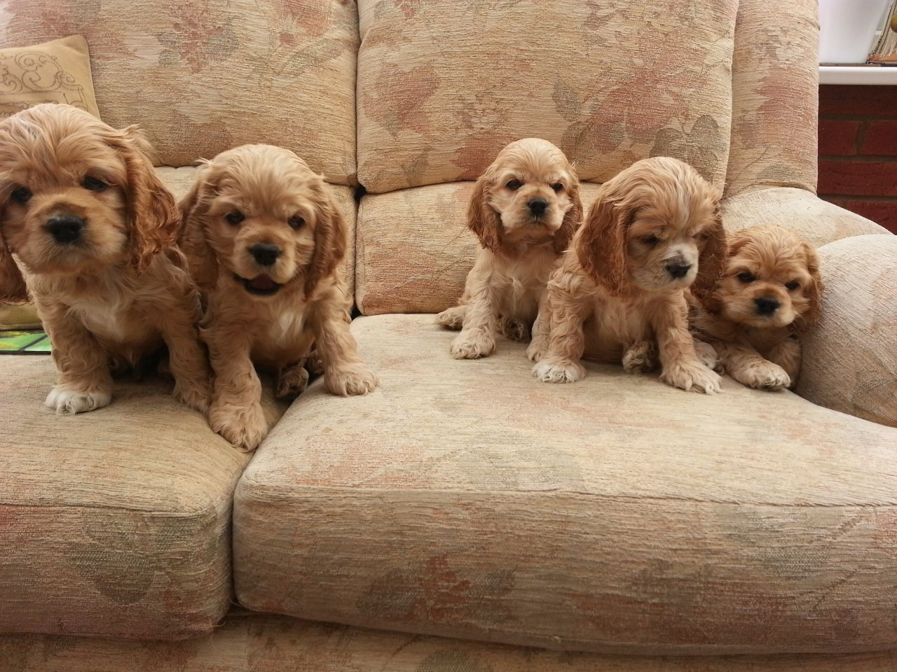 American Cocker Spaniel Puppies Rescue Information