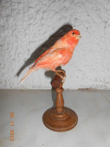 Oiseau Canaris Saumon Naturalisé Taxidermie