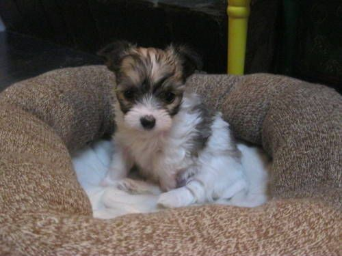 Maltese Chihuahua Malchi Puppies Puppies Designer Dogs Breeds Dogs And Puppies