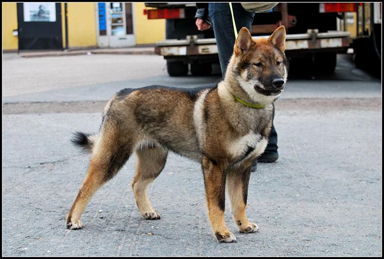 Japanese Dog Breeds And How To Get Them Japanese dogs