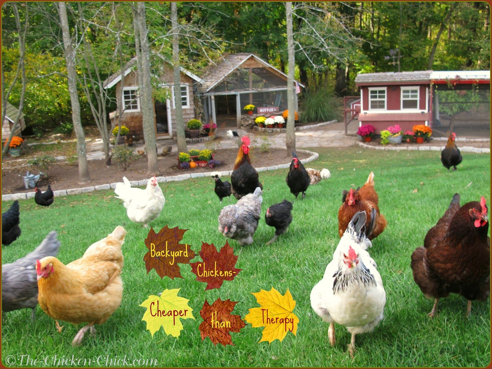 tips for selecting chicken breeds the breed i need chicken