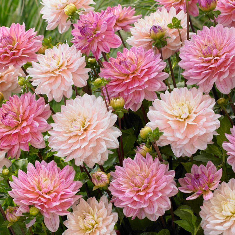 Photo of Van Zyverden Dahlias Pretty in Pink Blend (7er-Set)