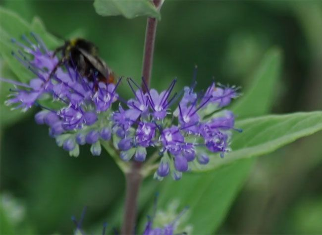 VIDEO taille du caryopteris