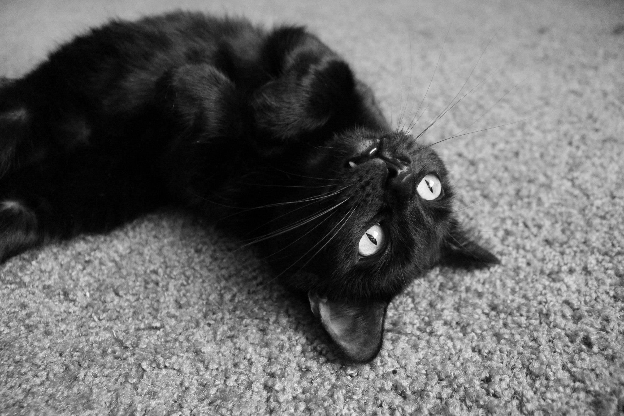 Today Is National Black Cat Appreciation Day Cats Black Cat Appreciation Day Pretty Cats Black Cat