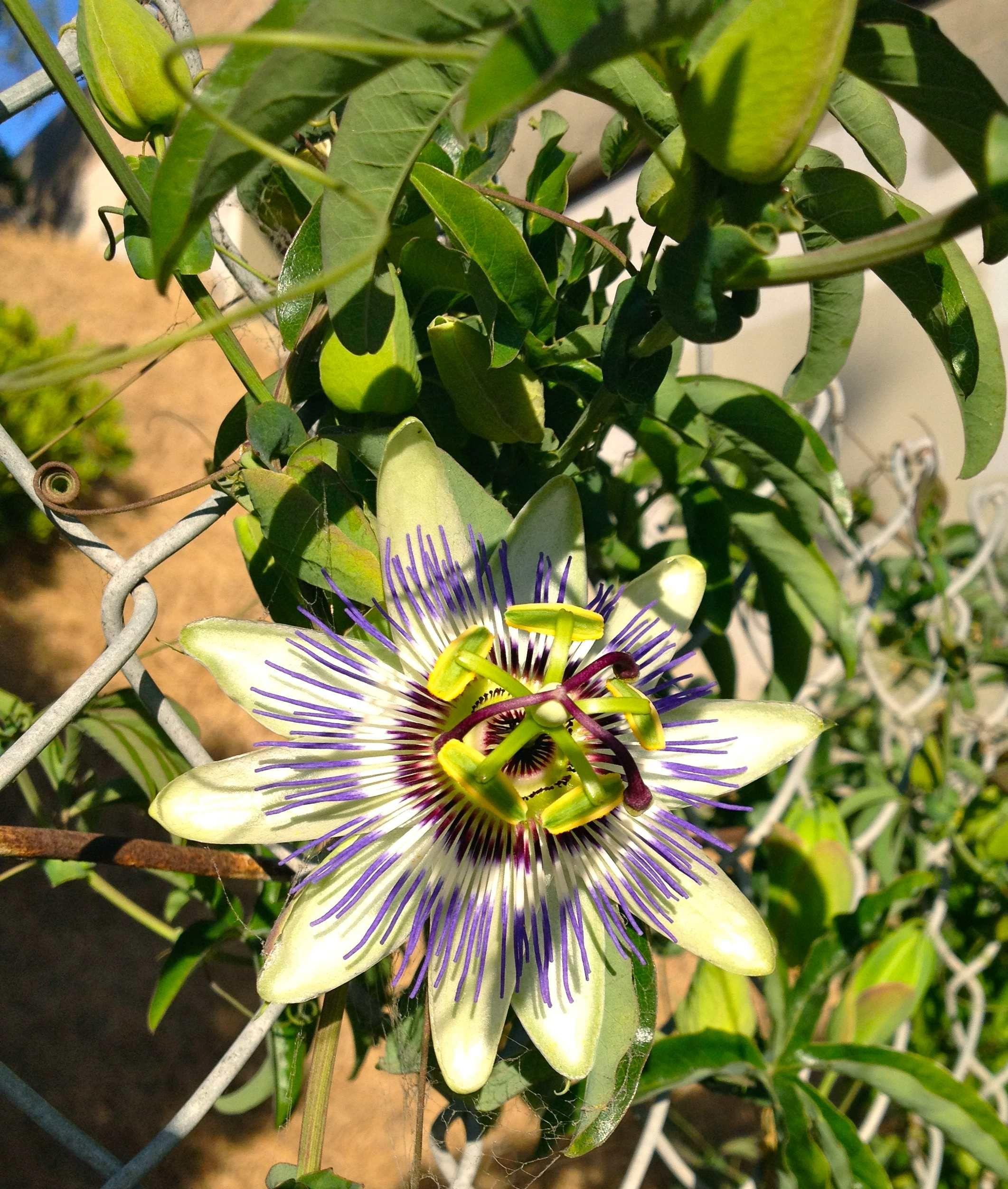 Passion Fruit Vine Passion fruit, Vines, Garden