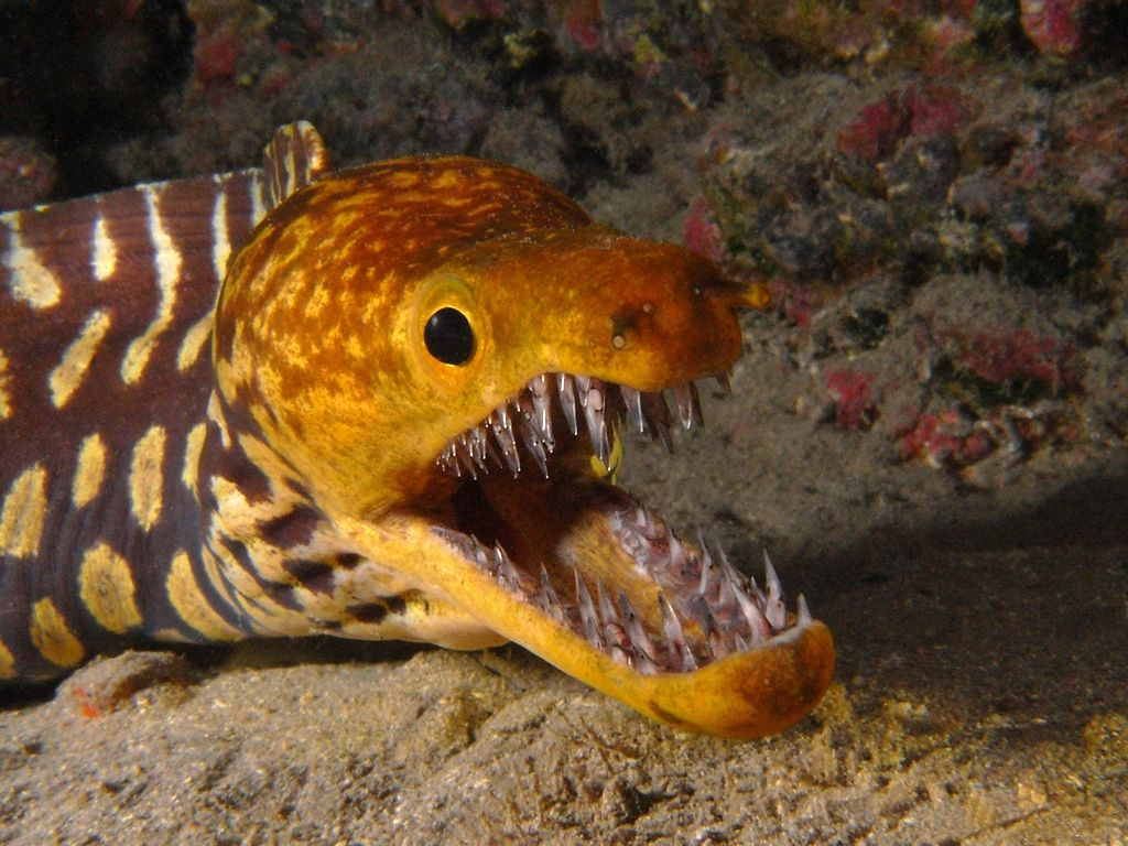 The Fangtooth Moray Eel (Enchelycore anatina) grow to around 4 ft ...