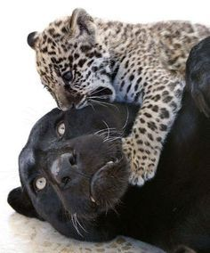 Black jaguar and cub.  Adorable!  And gorgeous!  :o)