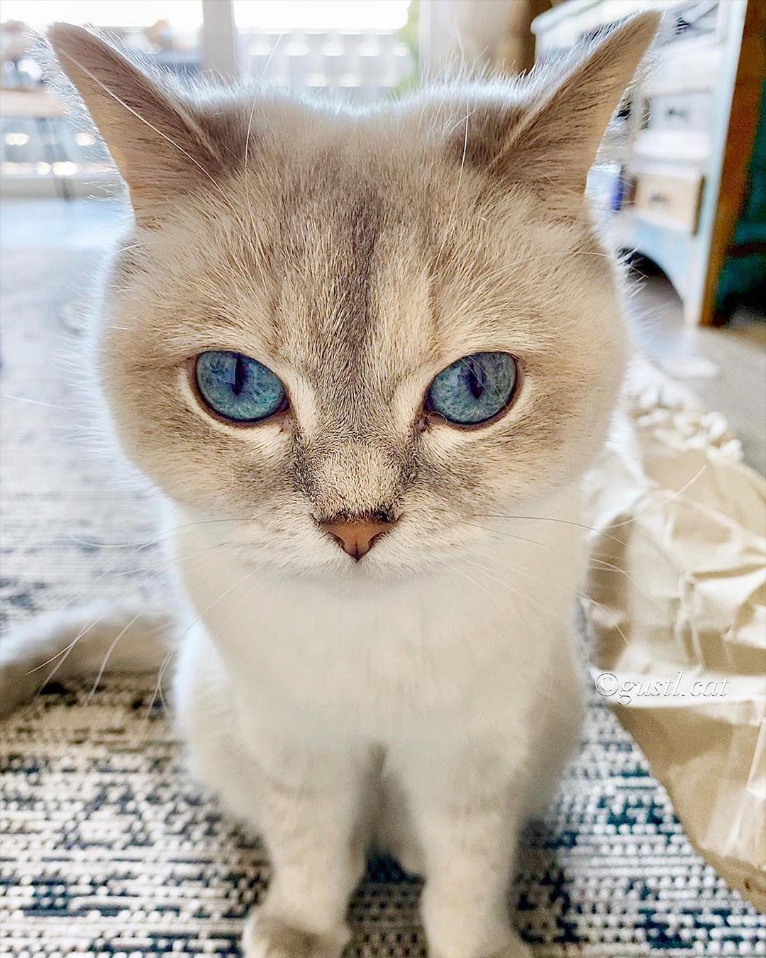 Cat Cat Eyes Beautiful Cat Blue Eyes Cats Cats Dog Cat Beautiful Cat