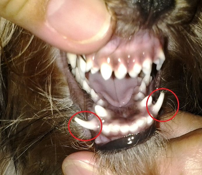 Frequent Dental Problems in Yorkies Yorkie puppy, Yorkie