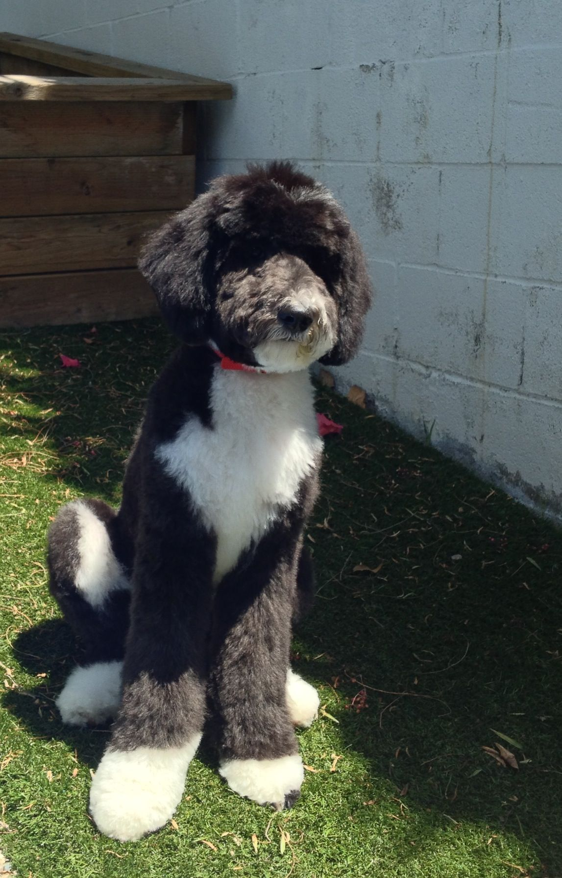 Sheepadoodle My Next Dog I Have Feel In Love Sheepadoodle