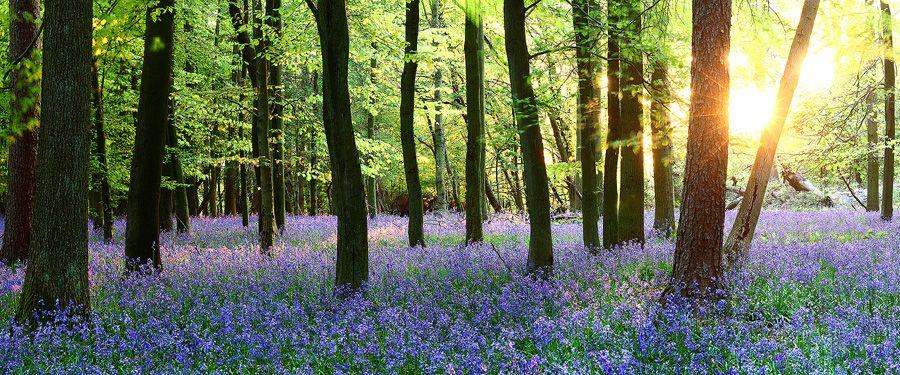 ashridge bluebells uk james appleton landscape photography