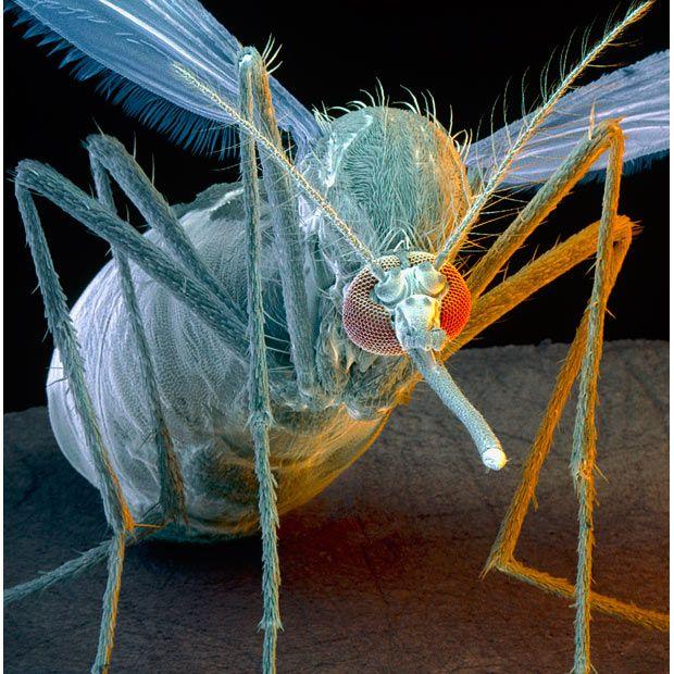 Beautiful Electron Micrograph Mosquito Scanning Electron Microscope Electron Microscope Images Scanning Electron Microscope Images