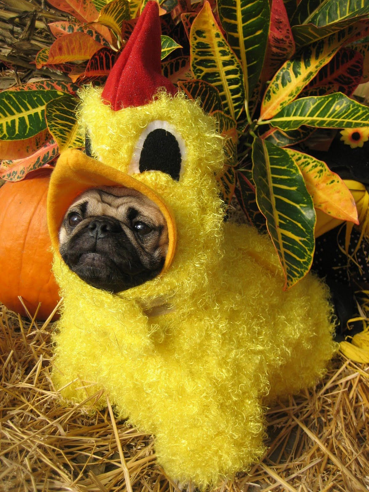 Pug Dog In A Fuzzy Funky Chicken Costume Cute Pugs Pugs Funny Pugs