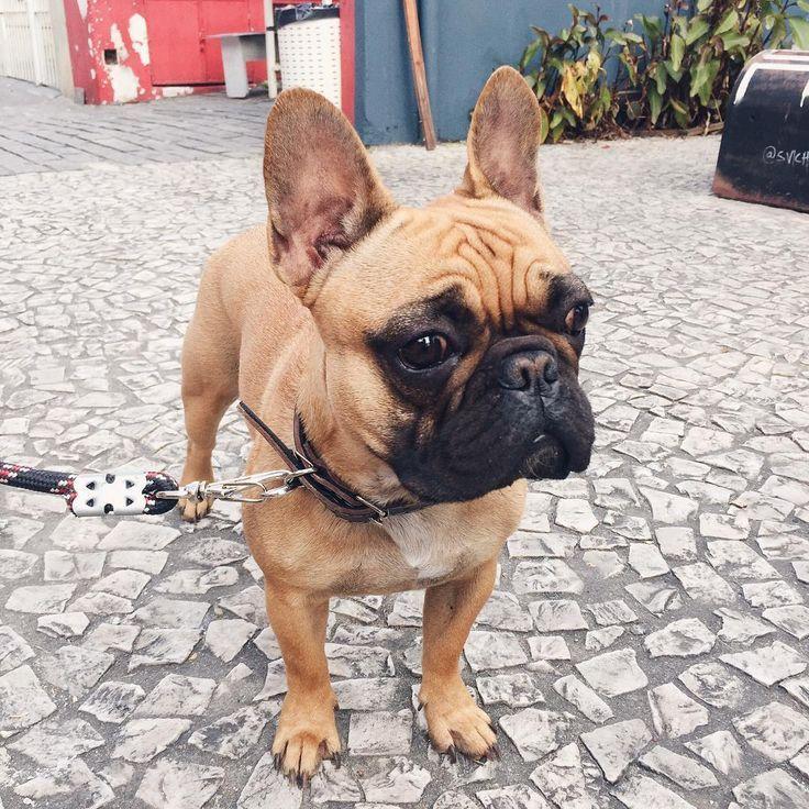 Majesty Cute Dogs French Bulldog Animals Pets