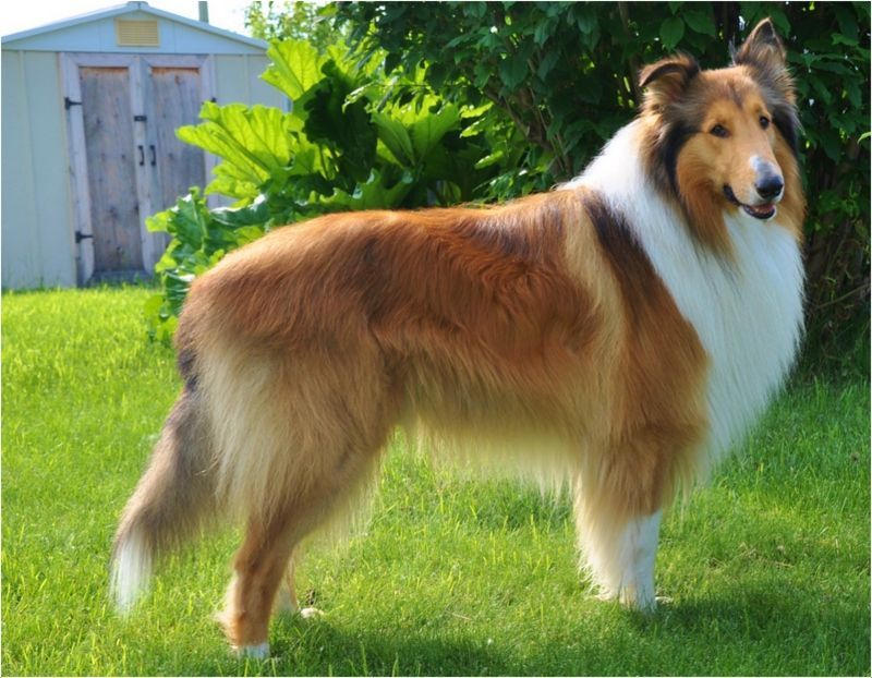 Rough Collie Facts Pictures Puppies Rescue Temperament Breeders Animals Breeds Rough Collie Aggressive Dog Breeds Dog Breeds