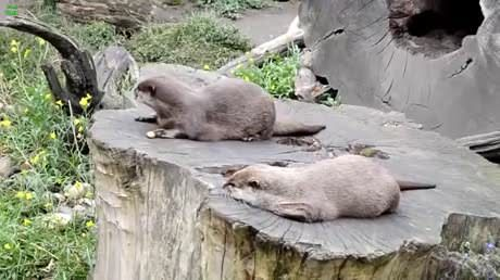 Otter skillfully juggling a rock.