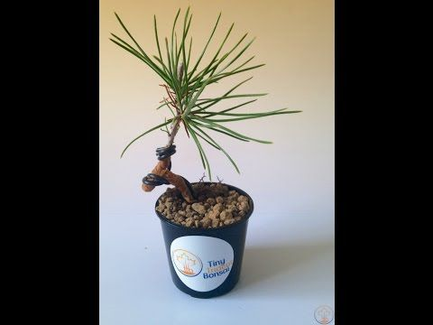 Pleasant How To Repot And Wire Young Japanese Black Pine Bonsai Youtube Wiring 101 Cajosaxxcnl
