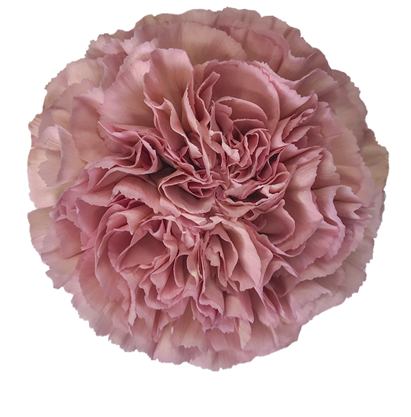 Colibri Flowers Carnation Lege Pink Grower Of Carnations Minicarnations Roses Greenball And Fillers Carnations Carnation Flower Pink Carnations