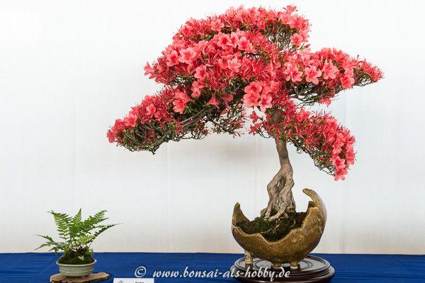 rhododendron indicum kinsai mit bl ten bonsai b ume. Black Bedroom Furniture Sets. Home Design Ideas