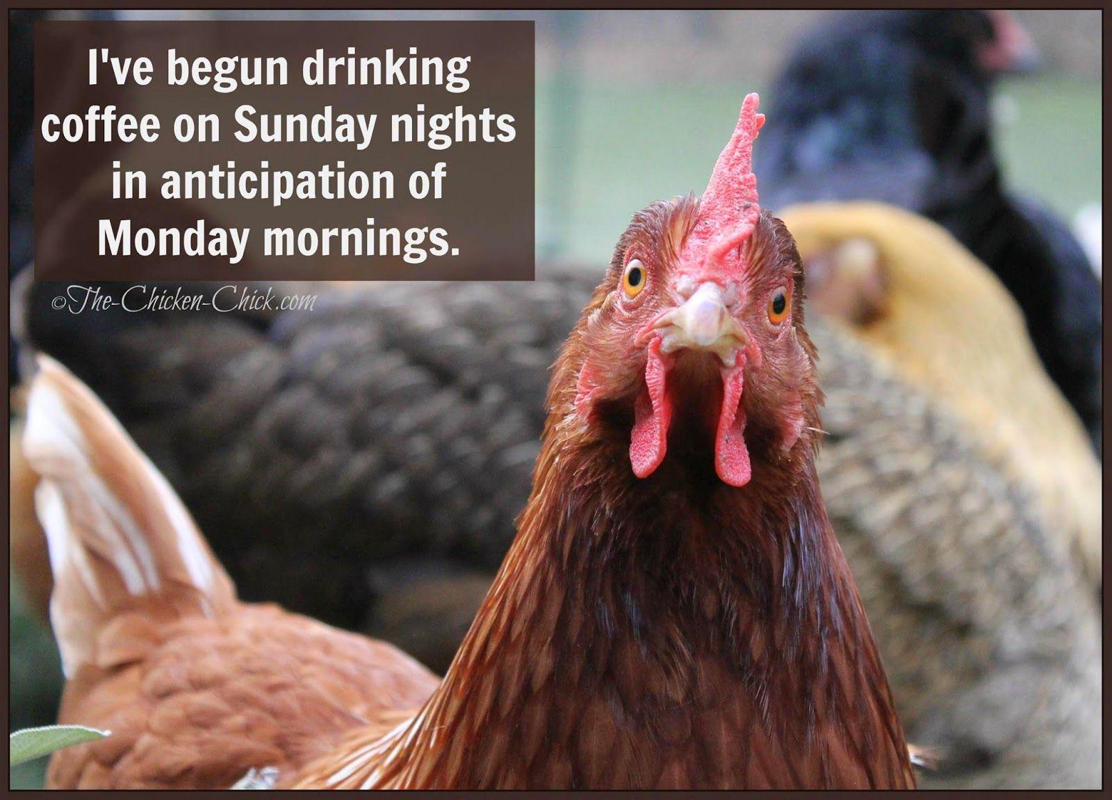 Good Morning Sunday Chicken : Flock focus friday drinking coffee sunday