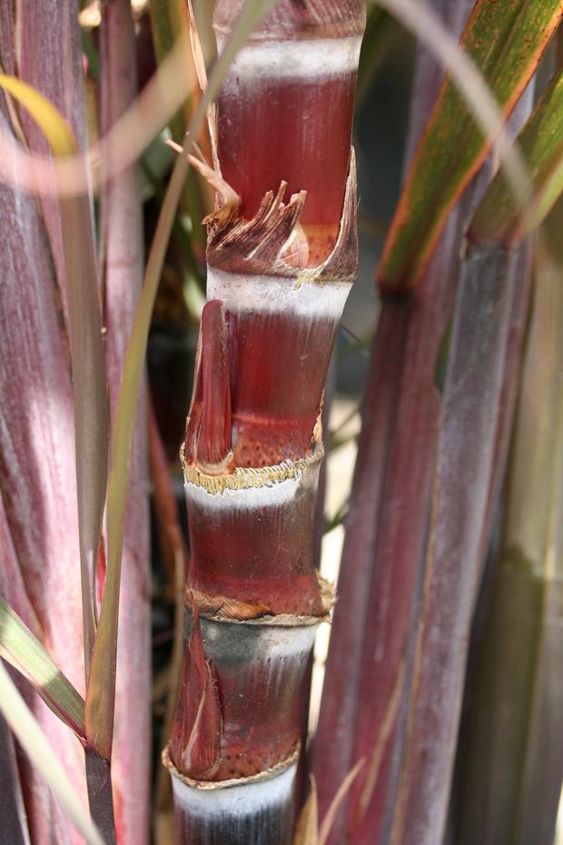 Black Sugar Cane Caña De Azucar Cebada Azucar