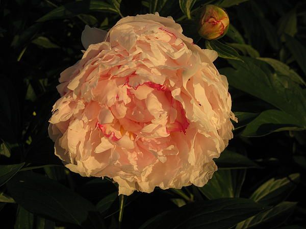 http://fineartamerica.com/featured/pink-peony-in-the-golden-hour-elisabeth-ann.html?newartwork=true