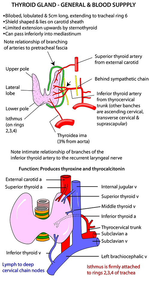 Instant Anatomy - Head and Neck - Areas/Organs - Thyroid gland ...