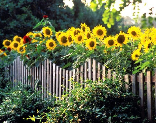 40+ Beautiful Sunflower Garden Photos Gallery is part of Sunflower garden, Garden, Growing sunflowers, Sunflower, Garden photos, Flower garden - PistonCars com   40+ Beautiful Sunflower Garden Photos Gallery  Sunflowers (Helianthus annuus) are perhaps one of the easiest flowers that we can grow in the garden  If you are fans of this flower, you can absolutely plant some or even many sunflower seeds in your own garden  With so many varieties    Read More