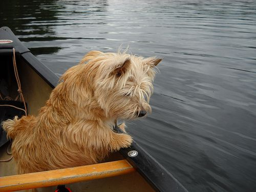 Lizzie A Norwich Terrier In The Canoe Stalking The Bubbles Norwich Terrier Terrier Norfolk Terrier