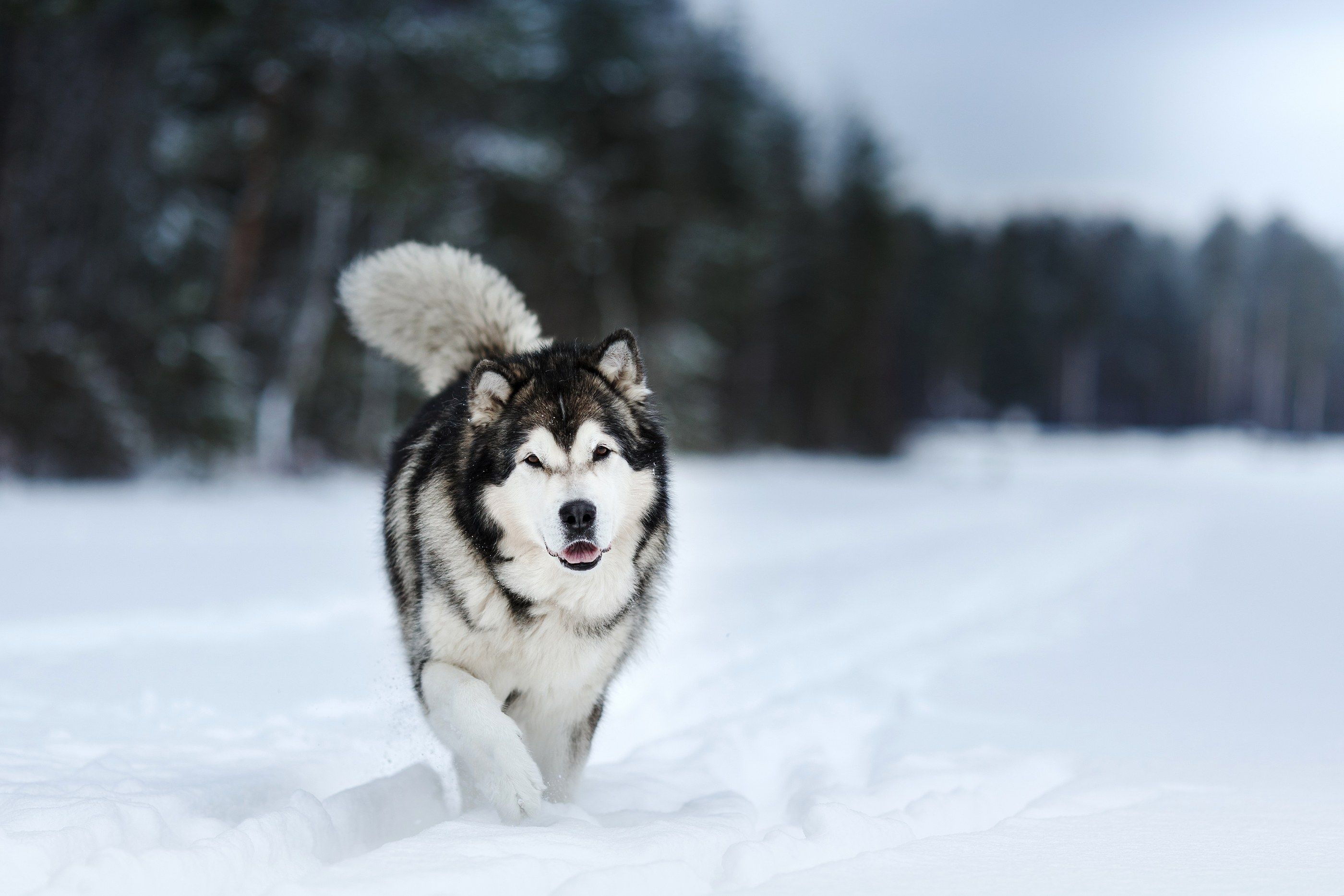 Alaskan Malamute Vs Siberian Husky All You Need To Know Alaskan