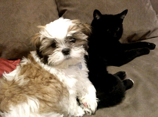 Louie the Shih Tzu Snuggles with Cat
