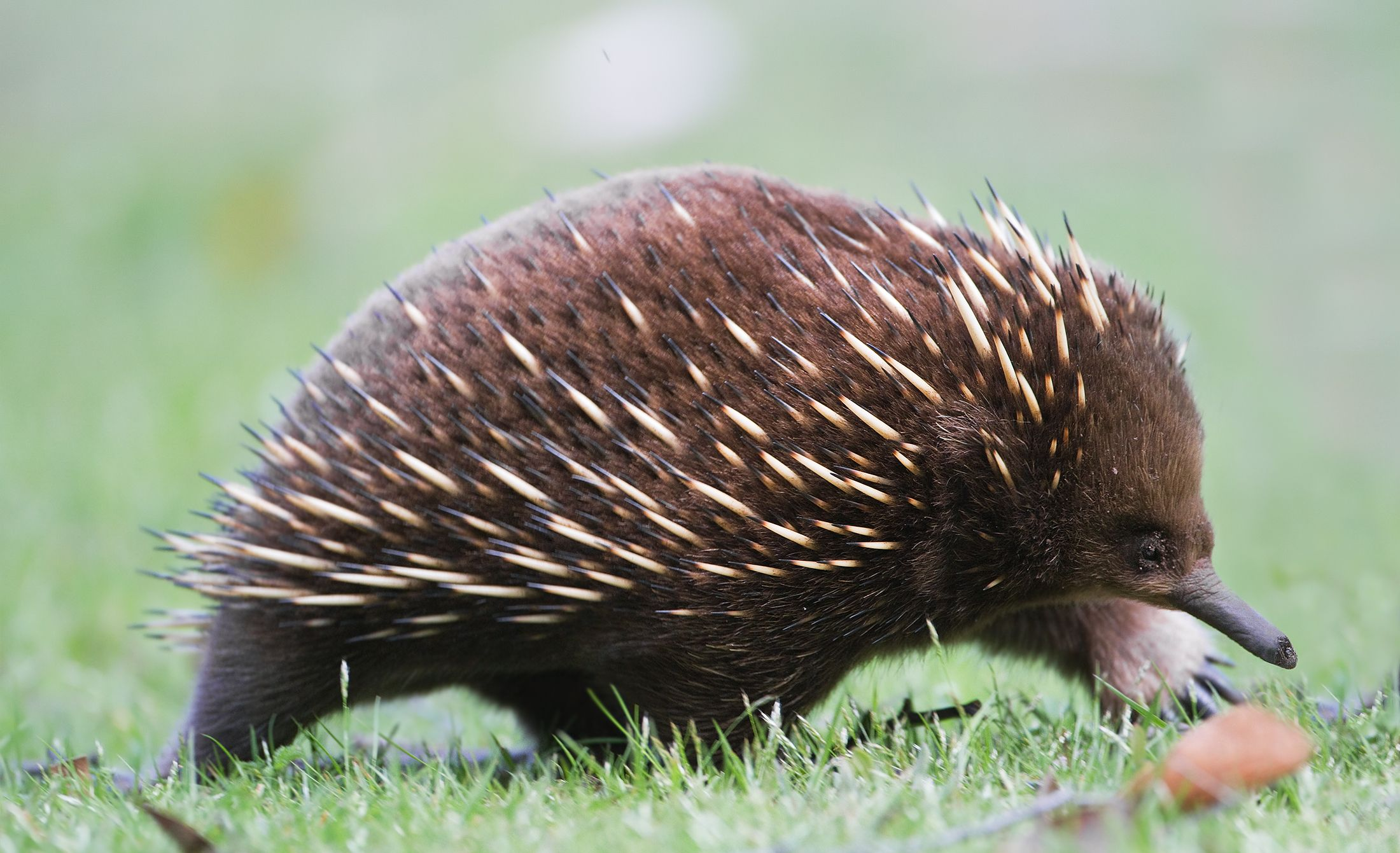 The Creature Feature 10 Fun Facts About The Echidna Echidna