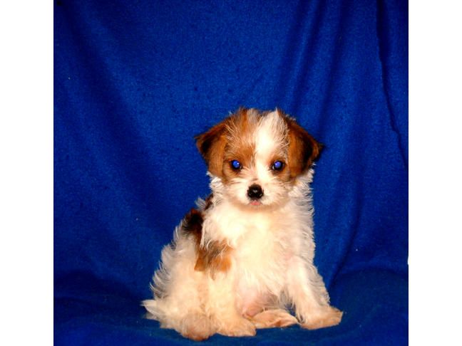 Chuka Gorgeous Markings On This Fluffy Gold Parti Color Morkie