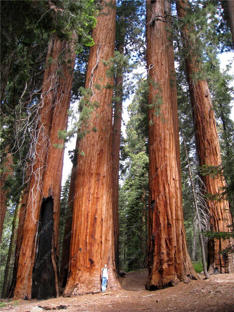 Gunstige 100 Stucke Seltene Riesen Redwood Samen Schnelle Wachstum
