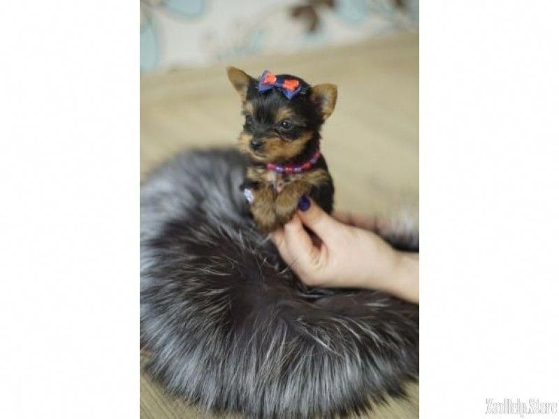 Yorkie puppies for sale ny, Extra Mini York Puppies! #278
