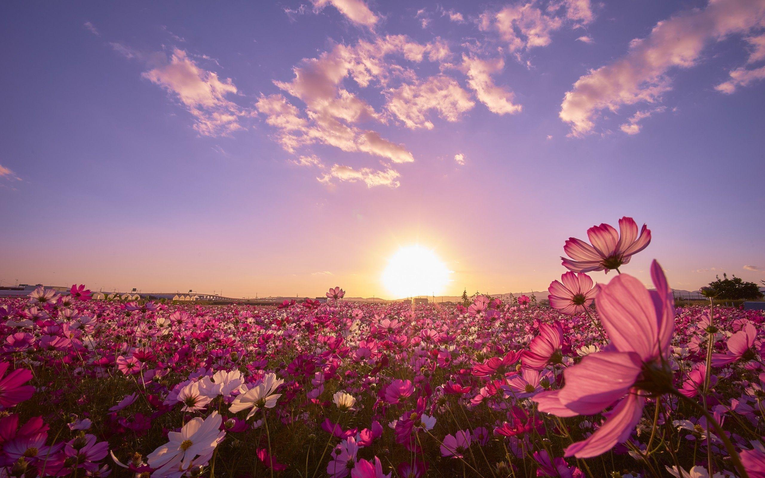 hitachi seaside park flower fields wallpaper hd for