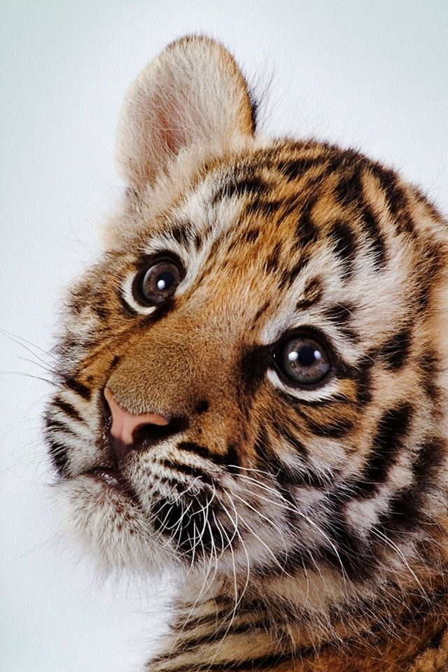 Cuteness Cute Tiger Cubs, Cute Tigers, Cheetah Cubs, Petits Tigres, Beautiful Cats