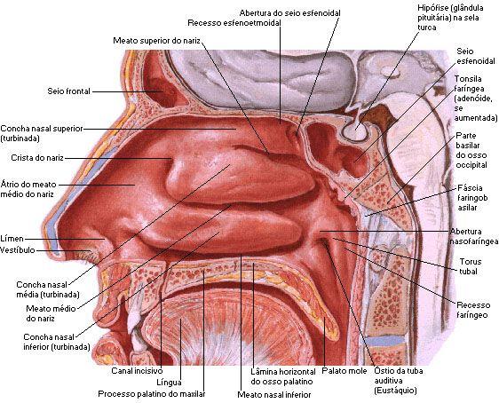 Aula de Anatomia | Sistema Respiratório | corpo | Pinterest ...