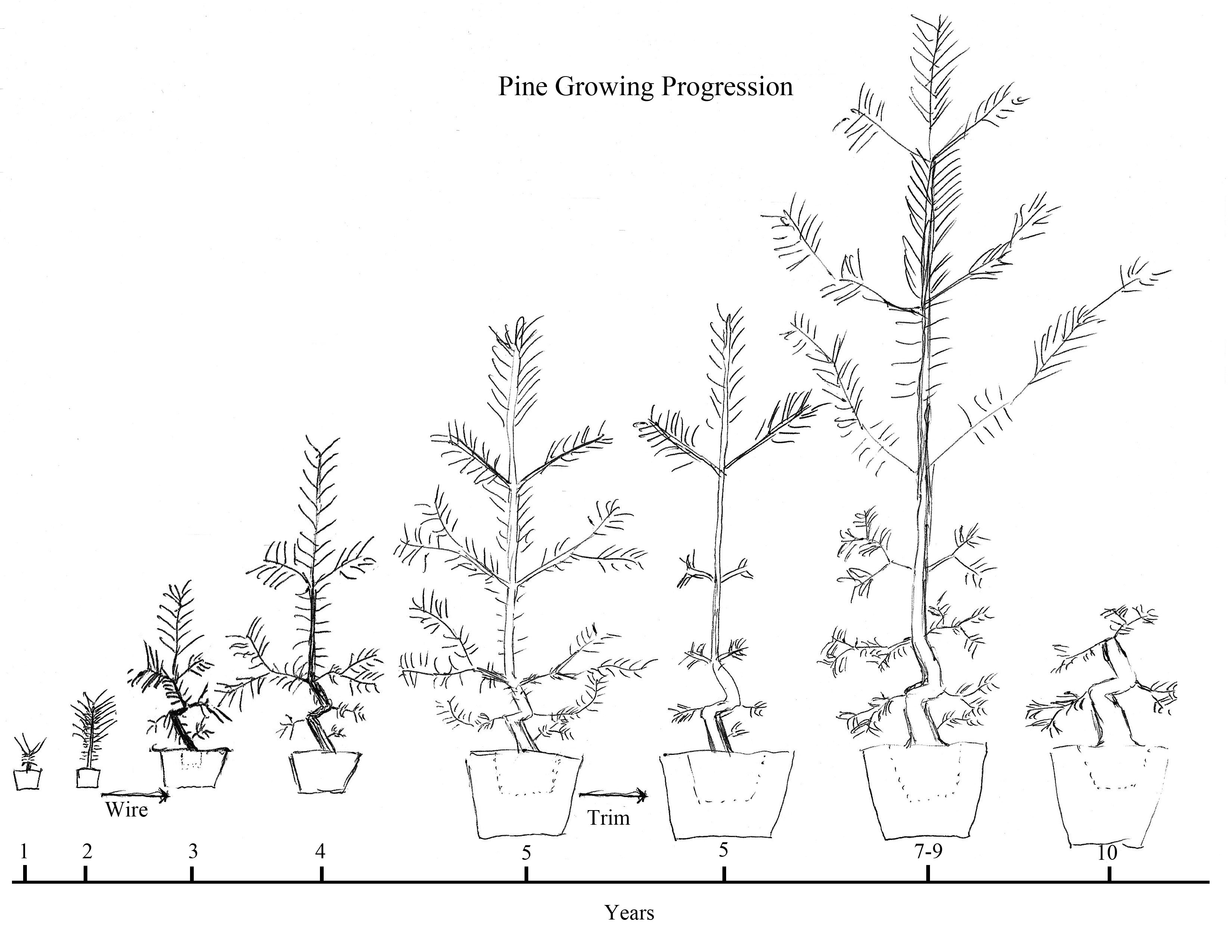 Pine From Seed At 2 3 Years Old Wire The Trunk Reexamine