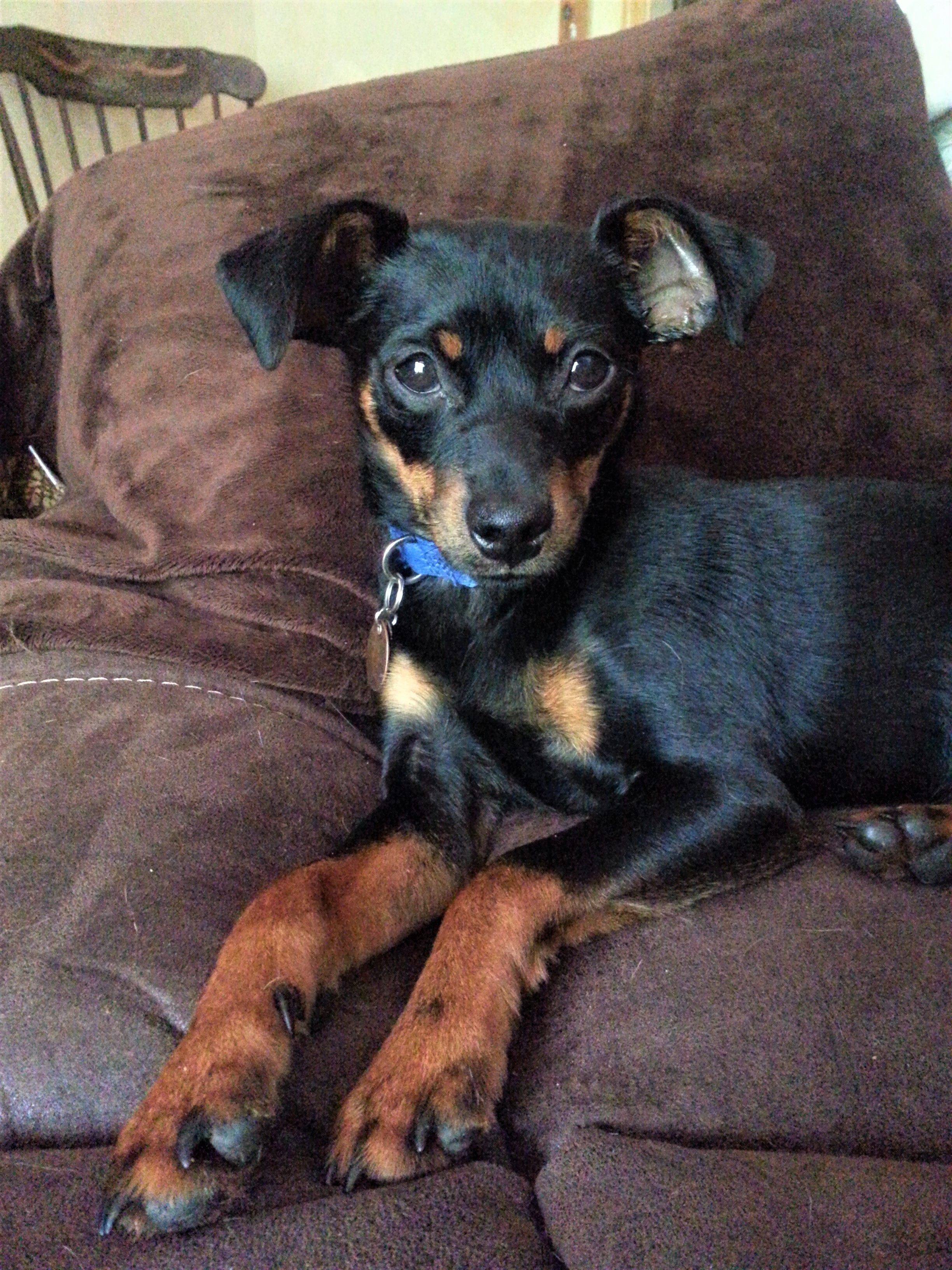 My Min Pin Tippy At 1 Year Old Dogs Puppies Dogs And Puppies