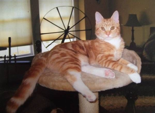 Orange Tiger MISSING (Manchester CT) Our cat Max is an 8